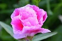 Květiny, které zdobí letní zahrady