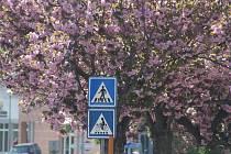 Květy sakury, kterým se lidově říká japonské třešně.