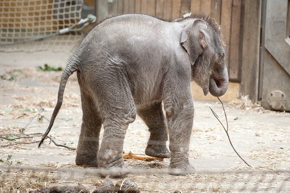 Mládě slona indického, které se narodilo  8. července 2017 v Zoo Ostrava. Ilustrační foto.
