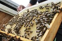 Zda včelstva nenapadl roztoč Varroa, to v těchto týdnech zjišťují jejich chovatelé - Ilustrační foto.