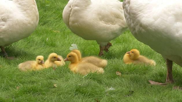 Ve výběhu s domácími zvířaty Na statku nově pobíhá pět malých housat. Mláďata se v ostravské zoologické zahradě vylíhla na konci června.