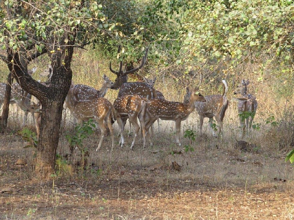 Z indických rezervací, stádo axisů, hlavní potrava lvů.