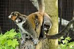 Lemur mongoz.