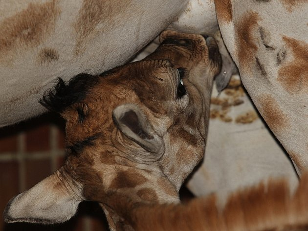 Mládě žirafy