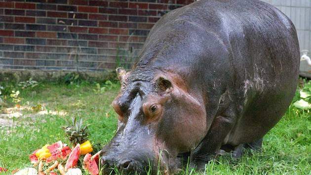 Hroch Honza v ostravské zoo