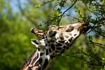 Samec žirafy Rothschildovy.