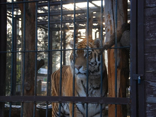 Tygr před transportem