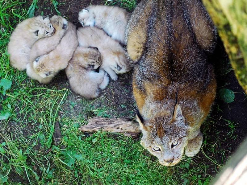Samice rysa s mláďaty.