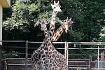 Žirafy v Zoo Ostrava.