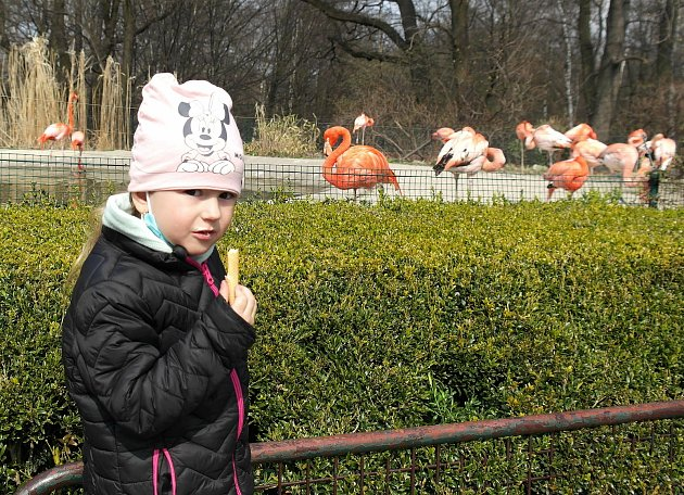 První den vostravské zoologické zahradě vMichálkovicích po rozvolnění vládních opatření proti čínské nákaze je docela rušný.