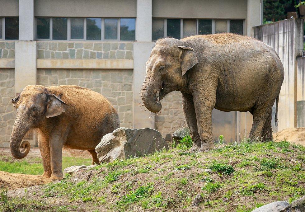 Březí samice slona indického v ostravské zoo. Ilustrační foto.