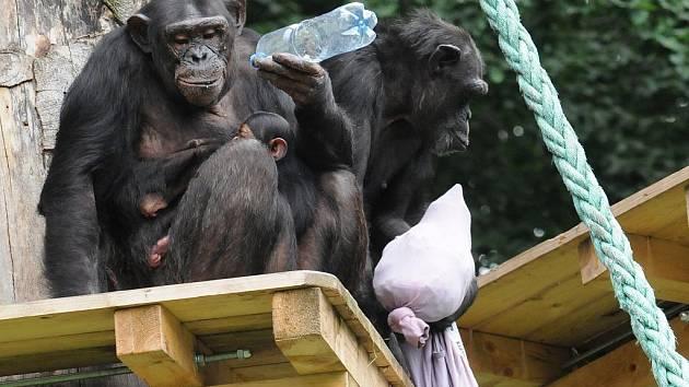 Šimpanzí matka Hope, které je 18 let, a její dvouměsíční mladě oslavili křtiny. Mladě se jmenuje Beira