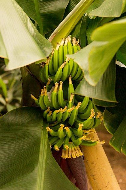 Banánovník.
