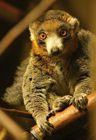 Ostravská zoologická zahrada obohatila svou kolekci vzácných madagaskarských lemurů odalší druh – lemura mongoze.