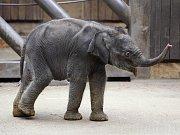 Malá třítýdenní slonice v ostravské zoo na snímku z 26. února 2014.