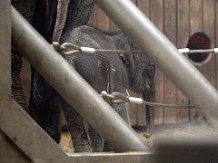 Slůně narozené v ostravské zoo 4. února 2014.