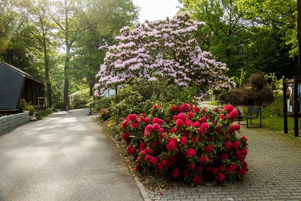 Rododendrony v Zoo Ostrava. Ilustrační foto.