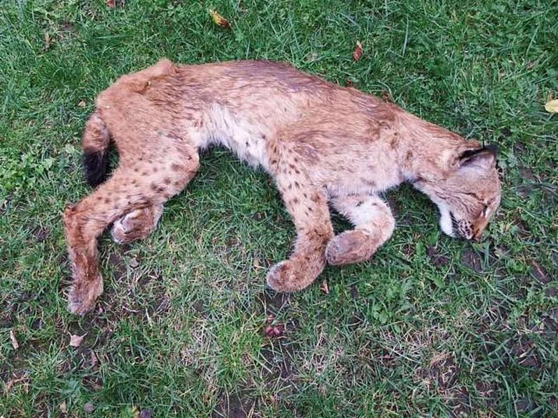Tělo mrtvé rysice Laury.