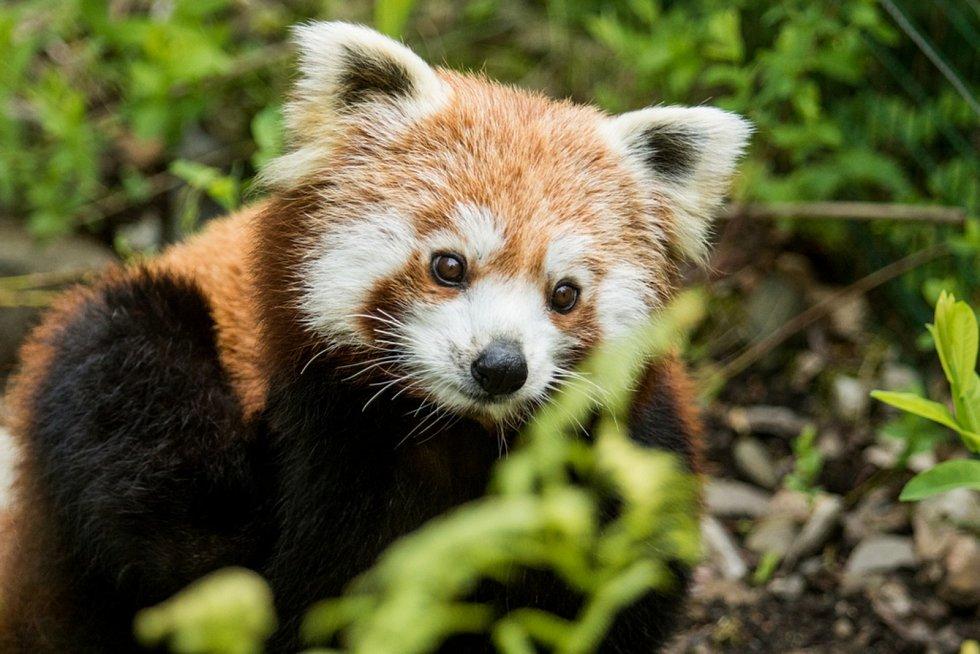 Panda červená.