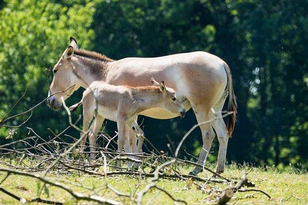 Vostravské Zoo se snaží zachránit druh osla, kterému hrozí vyhynutí.