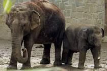Slůně Rashmi z ostravské zoo slaví 2. narozeniny.