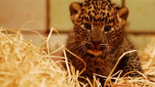 Vzácní levharti se narodili loni v létě v ostravské zoo