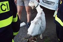 Záchráněná koza