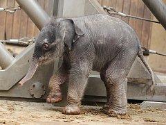 Sloní mládě narozené 4. února 2014 v ZOO Ostrava.