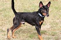 Lexík – pět a půl roku starý pejsek malého vzrůstu, kříženec černé barvy.