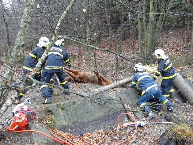 Záchrana bývalého dostihového koně, který spadl do úzké strouhy.