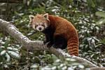 Zoo Ostrava je nadále dle nařízení vlády uzavřená, 6. února 2021 v Ostravě. Panda červená.