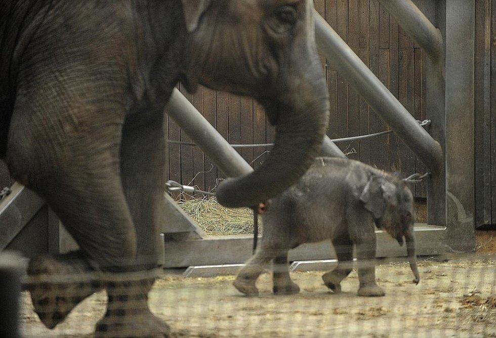 Druhá samice, Johti, zvládla porod bez problémů a mládě je v pořádku. V zoo jsou zatím s vývojem spokojeni.