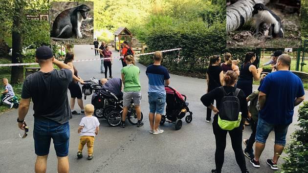 V Zoo Ostrava v pátek 4. září utekla tlupa kočkodanů. Pracovníci zoo varují návštěvníky.