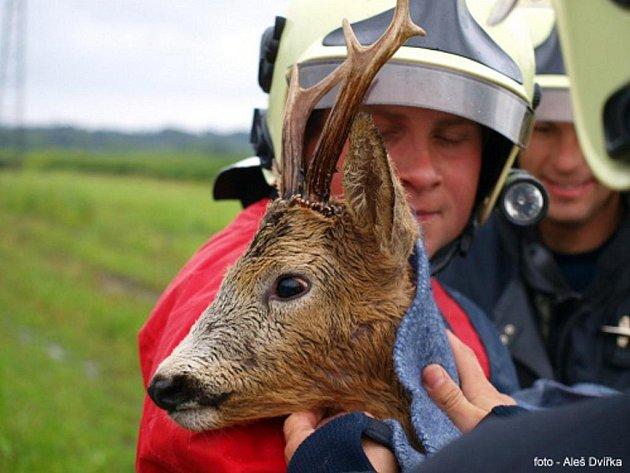 Ostravští hasiči zachraňovali v neděli podvečer krásného srnce z řeky Ostravice.