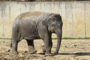 Sloní samička Rashmi z ostravské zoo.
