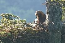 Orel skalní s vylíhlým mládětem. Ilustrační foto.