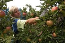 NA JABLKA DO SADU. I letos umožní životičtí ovocnáři lidem, aby si sami nasbírali jablka z jejich stromů.