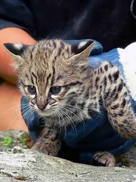 Kotě kočky slaništní v ostravské zoo