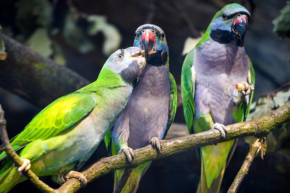 Skupina malých drobných otužilých papoušků z hor. Alexandr čínský je nový obyvatel ostravské zoo.