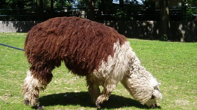 Lama alpaka před stříháním