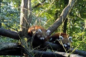 Mláďátka pand červených v ostravské ZOO už objevují svět.
