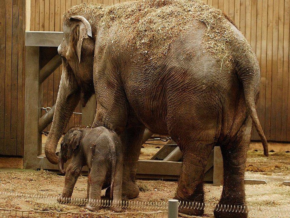 Sloní samička se svojí mámou Johti den po svém narození.