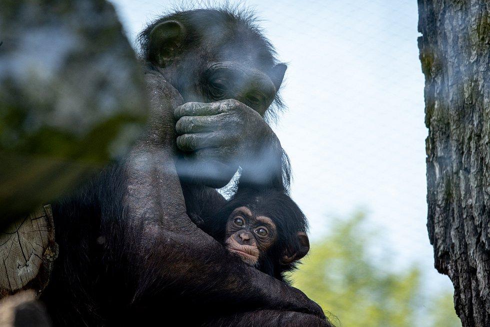 Mládě šimpanze hornoguinejského, které se narodilo v Zoo Ostrava 28. února 2020, se má čile k světu. Na snímku z 18. května 2020.