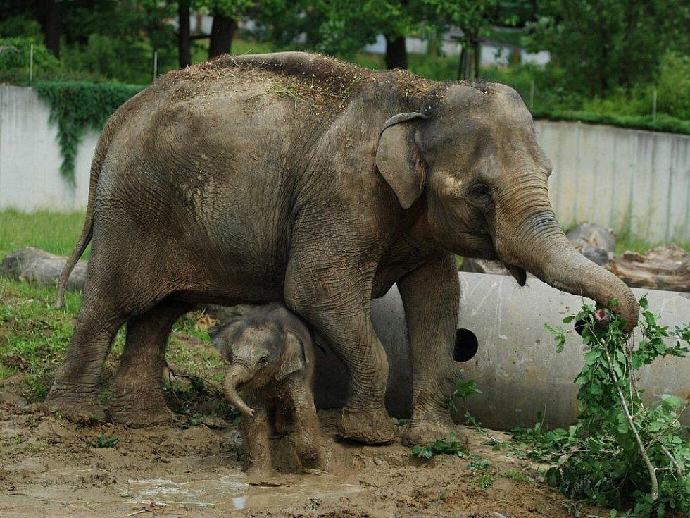 Sloní mládě v ostravské zoo si našlo novou zábavu. Mezi jeho oblíbené aktivity patří nově bahenní koupel v blátě, které se ve výběhu udělalo po vydatných deštích.