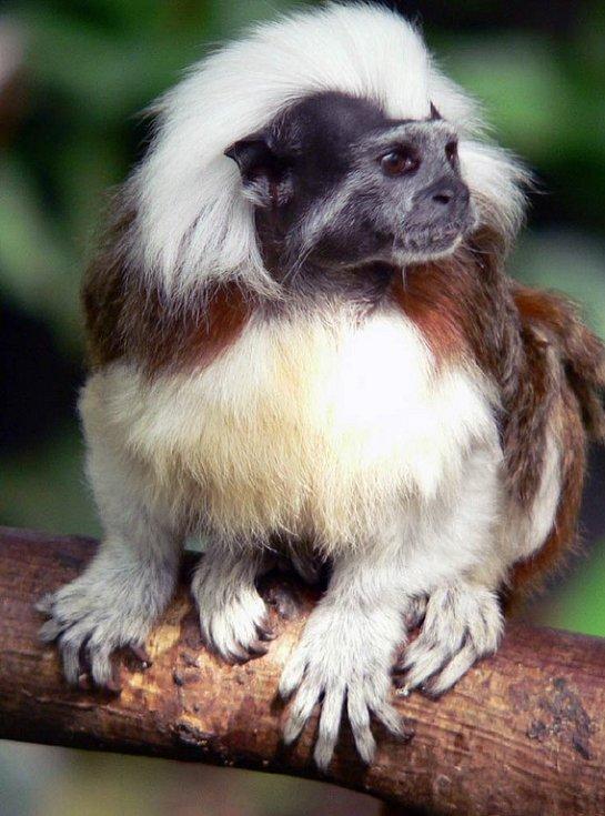 Opička tamarín pinčí v ostravské zoo