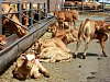 Drama v Hlubočci: kráva napadla muže při dojení