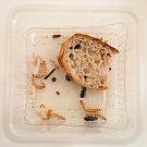 Ochutnávka hmyzích specialit v Ostravě.