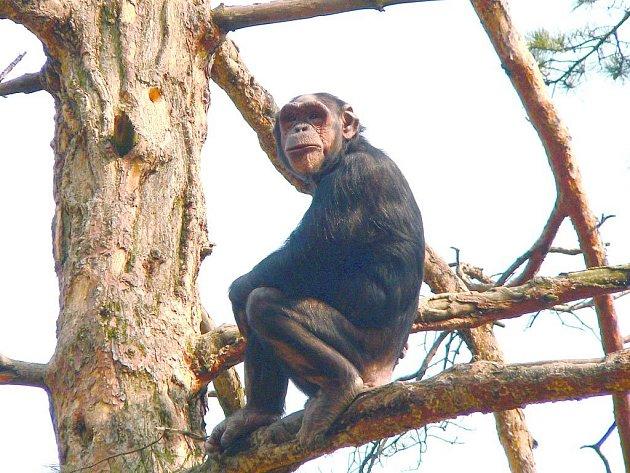 Šimpanzice Zira v ostraveké zoo