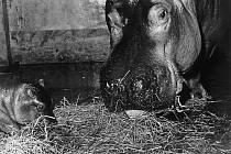 Samice sprvním ostravským mládětem hrocha, rok 1972.