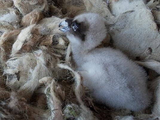 Jedno ze dvou mláďat orlosupů bradatých, která se před několika týdny vylíhla v ostravské zoologické zahradě.